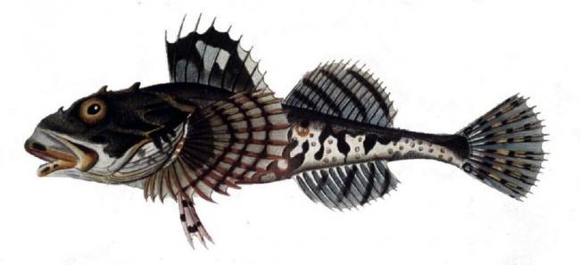 ryba-skorpion-podvodnyj-sorodich-ili-antipod-chlenistonogih-animal-reader.-ru-003-1024x469.jpg