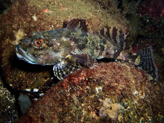 ryba-skorpion-podvodnyj-sorodich-ili-antipod-chlenistonogih-animal-reader.-ru-002-1024x768.jpg