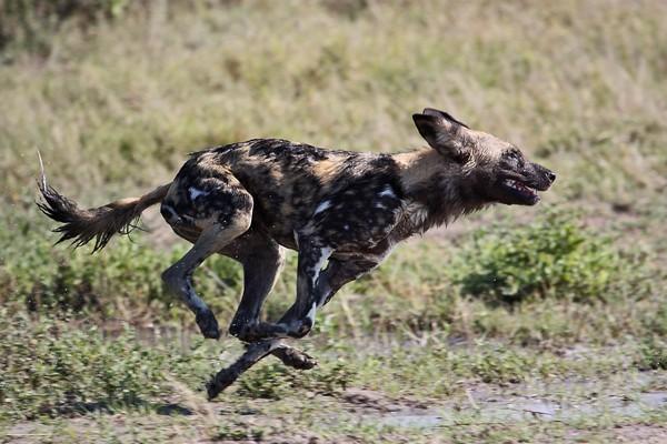 African-wild-dog.jpg