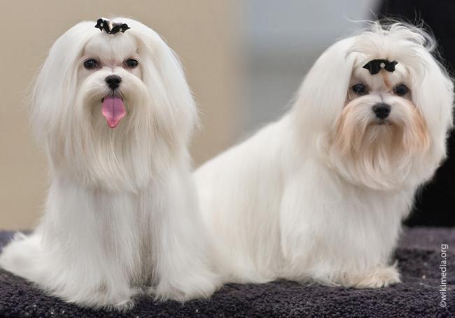 Maltese_lap_dog_breed.jpg