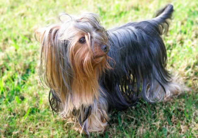 Yorkshire_Terrier.jpg