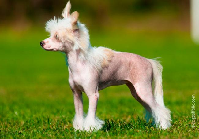 2Manchu_Hairless_Dog.jpg