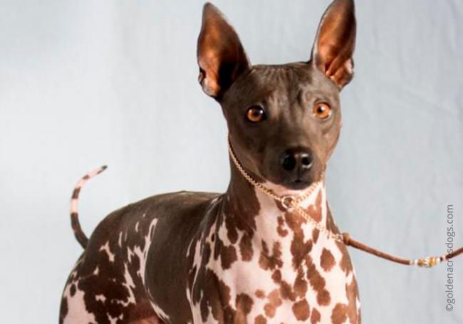 4dog_breed_Abyssinian_sandy_terrier.jpg