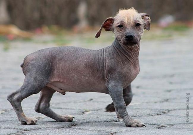5Ecuadorian_hairless_dog.jpg