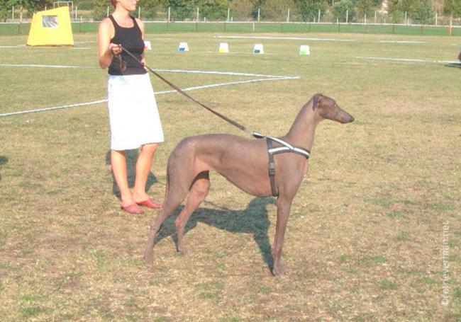 8dog_breed_Hairless_Deerhound.jpg