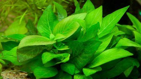 akvariumnoe-rastenie-limonnik-vybor-vyrashchivanie-i-razvedenie-1.jpg