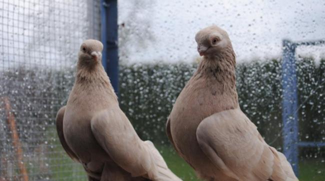 bojnye-golubi-osobennosti-porody-i-vyrashchivanie.jpg