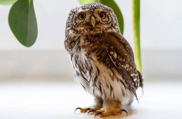 sova-ptica-opisanie-osobennosti-vidy-obraz-zhizni-i-sreda-obitaniya-sovy-6.jpg