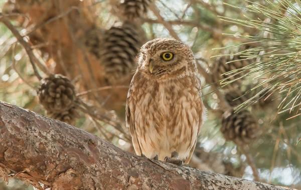 sova-ptica-opisanie-osobennosti-vidy-obraz-zhizni-i-sreda-obitaniya-sovy-7.jpg