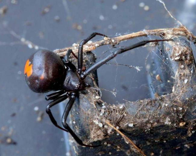 Avstralijskaya-vdova-Latrodectus-hasselti-002-1024x816.jpg