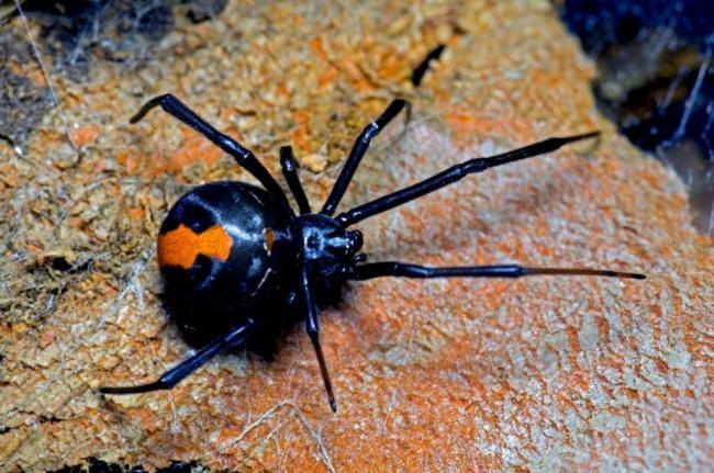 Avstralijskaya-vdova-Latrodectus-hasselti-003-1024x680.jpg