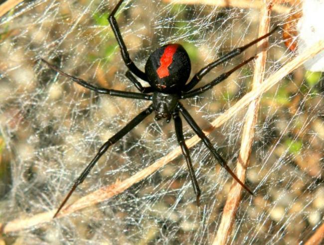 Avstralijskaya-vdova-Latrodectus-hasselti-006-1024x776.jpg