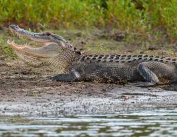 alligator-utaschil-malchika.jpg