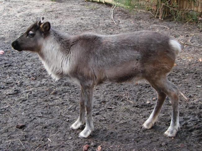 Rangifer_tarandus_Wroclaw_zoo_-_young_-_body-e1413891147315.jpg