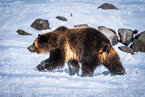 Brown_Bears_Snow_602893_600x400.jpg