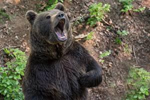 Brown_Bears_Roar_602484_600x400.jpg