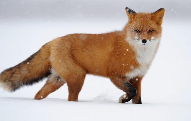 red-fox-in-snow.jpg