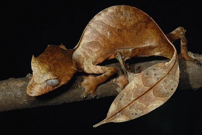 Fantasticheskij-listohvostyj-gekkon.jpg