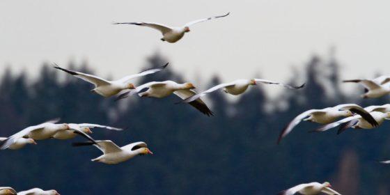 geese-918894_1280-560x280.jpg