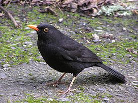 275px-Blackbird_%28male%29.jpg