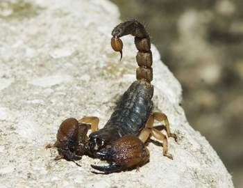 samiy-opasniy-skorpion.jpg