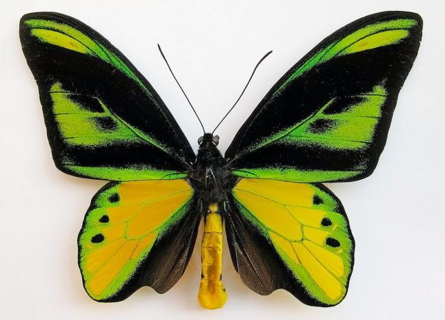 ornitoptera-himera.jpg