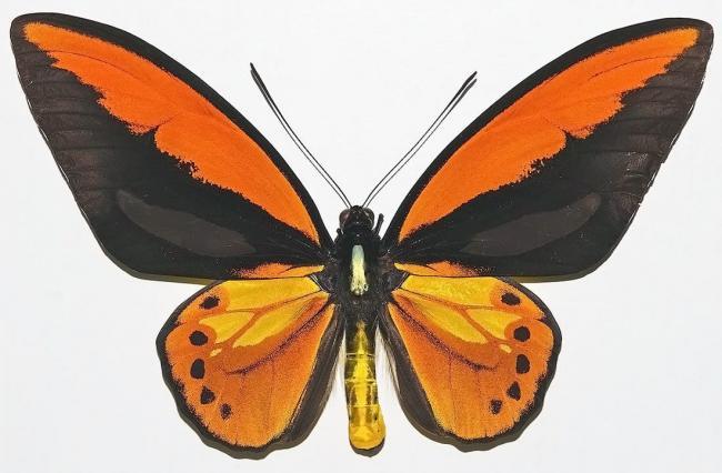 ornitoptera-krez.jpg