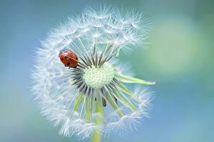 Dandelions_Closeup_Ladybugs_Jacky_Parker_595760_600x399.jpg