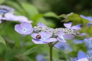 Closeup_Hydrangea_Insects_Ladybugs_Bokeh_593671_600x400.jpg