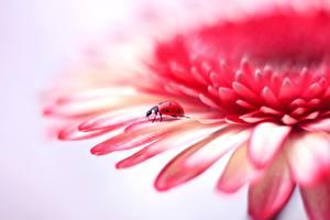 Closeup_Ladybugs_Gerberas_Petals_593518_600x400.jpg