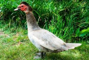 Muscovy-Duck-30-300x204.jpg