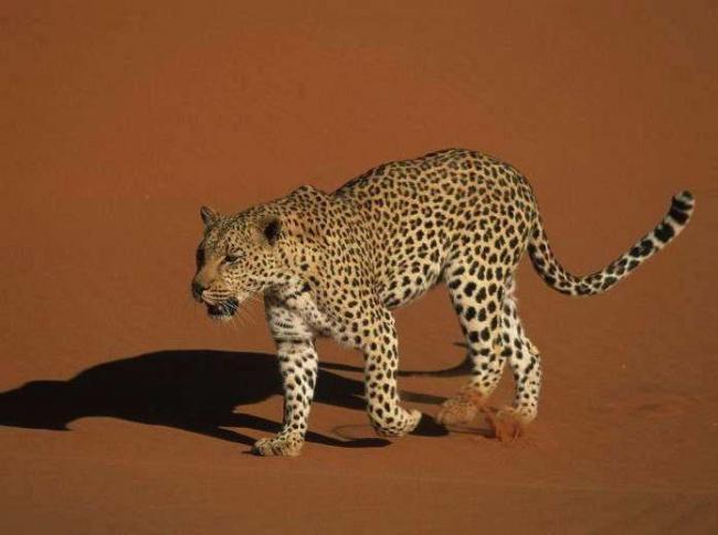 Leopard-v-pustyne-Sahara.jpg