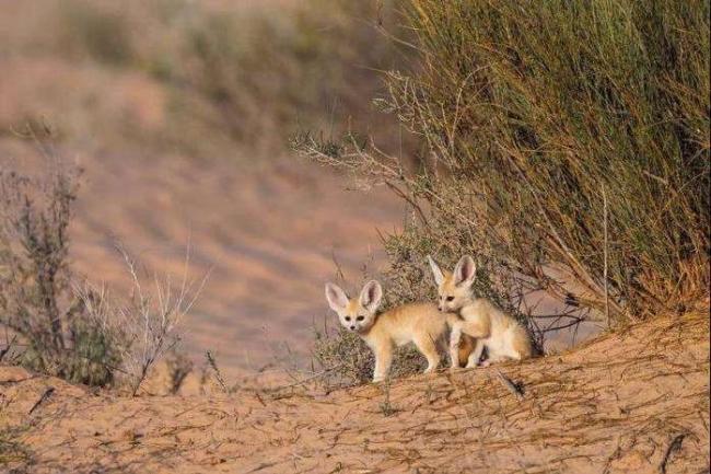 Feneki-v-pustyne-Aravii-i-Severnoj-Afriki.jpg