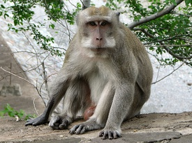 275px-Macaque_a_longue_queue.jpg