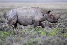 220px-2012_Black_Rhinoceros_Gemsbokvlakte.jpg