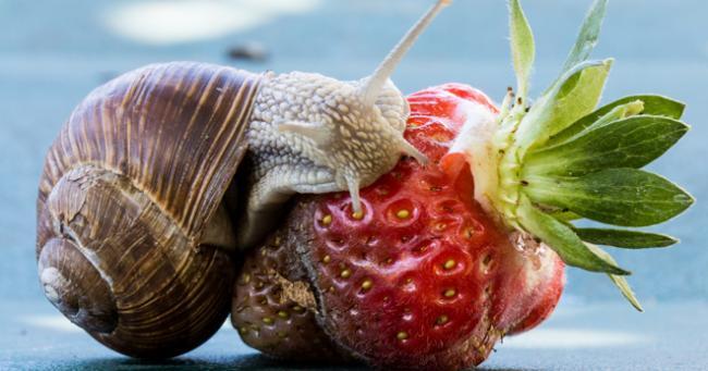 Что едят улитки в природе и домашних условиях, чем нельзя кормить таких питомцев?