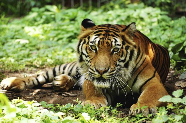 6-vymirayushchih-vidov-tigrov5.jpg