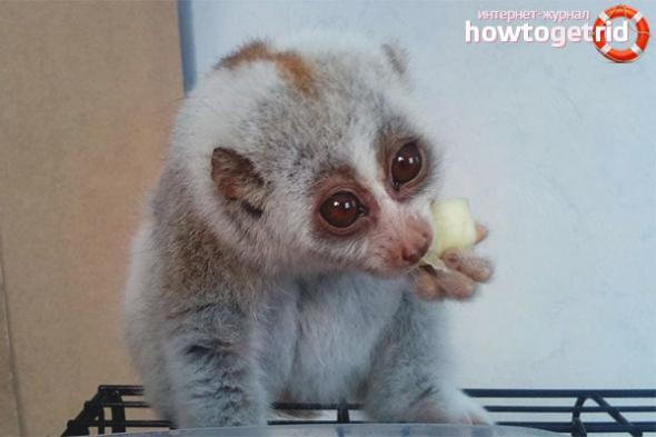 lemur-uhod-i-soderzhanie-v-domashnih-usloviyah-zdavnews.jpg