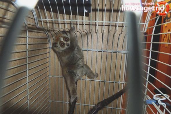 lemur-uhod-i-soderzhanie-v-domashnih-usloviyah-zdavnews2.jpg