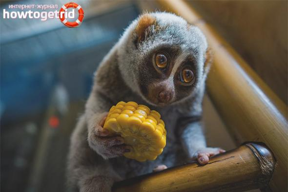 lemur-uhod-i-soderzhanie-v-domashnih-usloviyah-zdavnews3.jpg