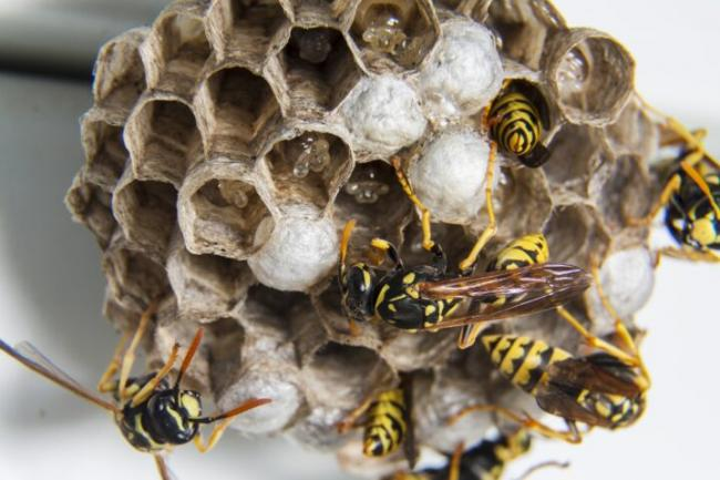 branch-flower-pattern-insect-invertebrate-bee-hornet-nest-wasp-wasps-pest-diaper-macro-photography-swarm-honey-bee-wasps-nest-membrane-winged-insect-12650251-1.jpg