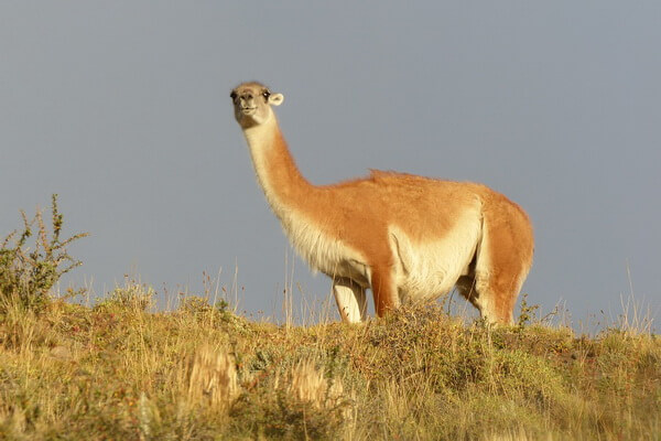 animals-in-andes-mountains-guanaco.jpg