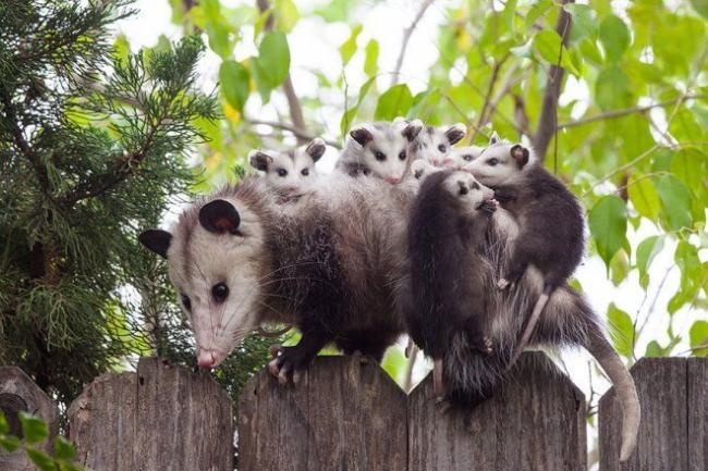 2samaya_zabotlivaya_mnogodetnaya_mama_-_opossum.jpg