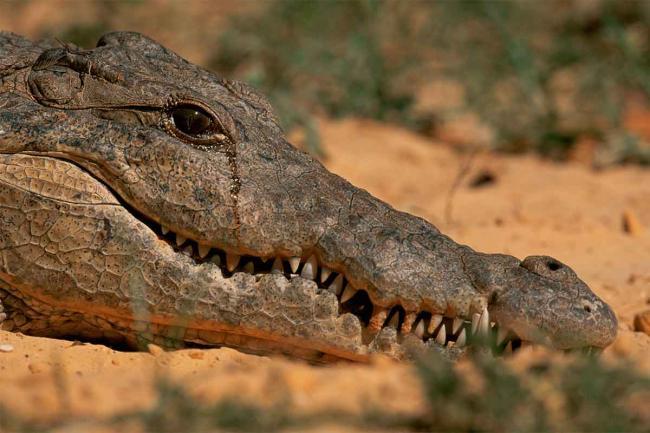 krokodil_plachet.jpg