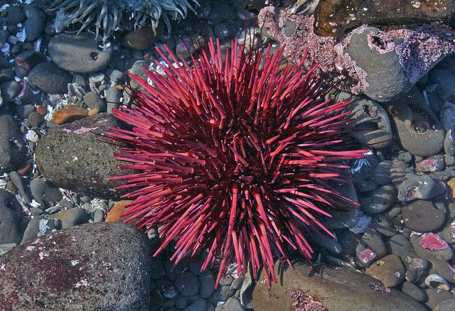 sea-------urchins.jpg