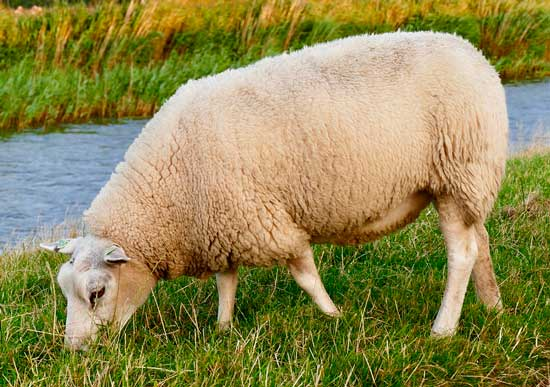 doklad-ovcza-domashnee-zhivotnoe.jpg
