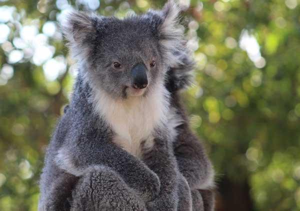 doklad-na-temu-koala-2-klass.jpg