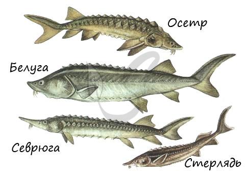 hryashekostnye-ryby.jpeg