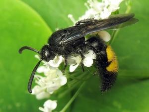pitanie-skolii-tsvetochnym-nektarom.jpg