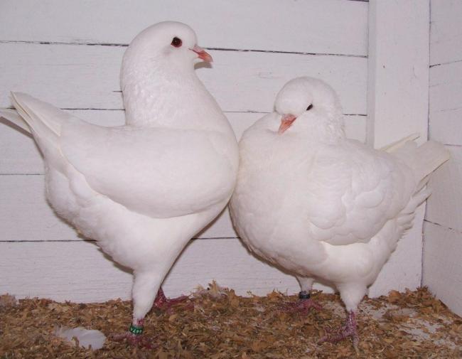 King_pigeons-1024x796.jpg